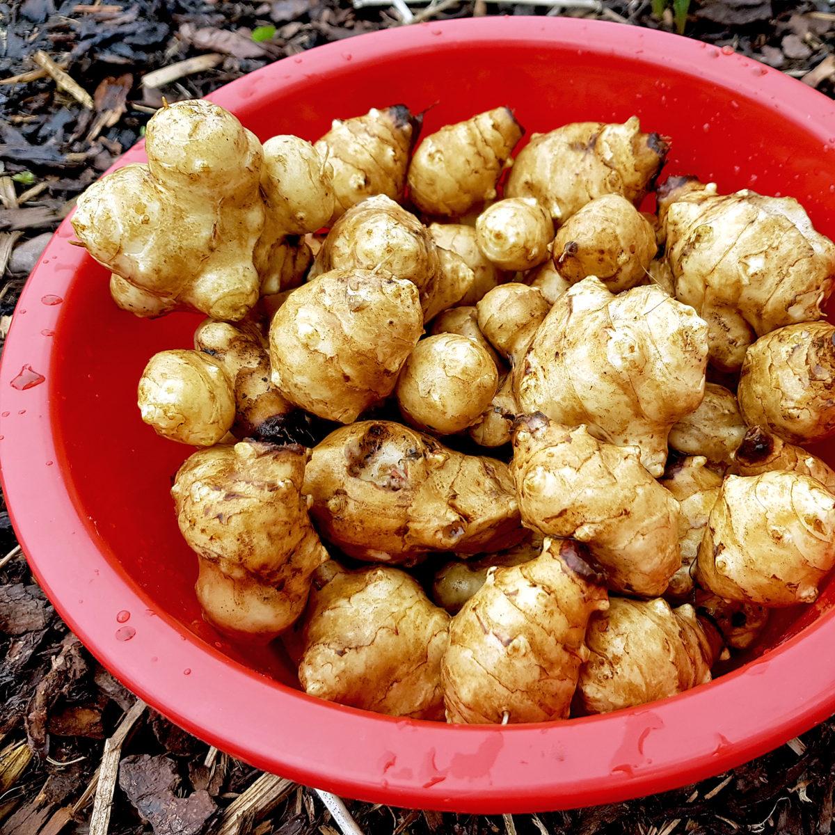 ドイツの菊芋(Topinambur)