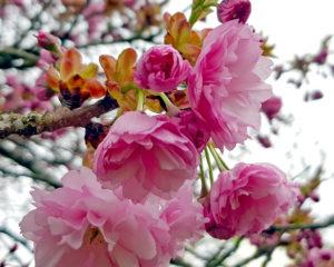 ドイツの八重桜